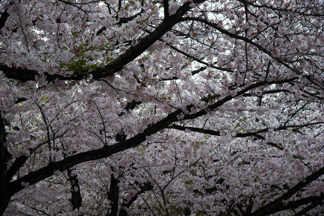 Sakura01.jpg